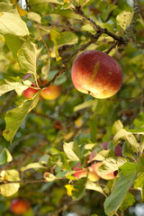 Ripe apples in tree