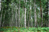 birches and ferns in a national park with vibrant colors poster