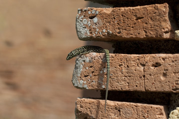 lizard sit on brick in the wall