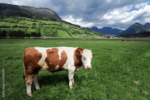 Cow in a grass field