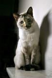 Gato Siamés poster