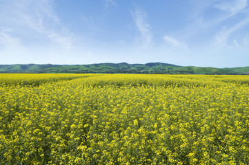 Barossa Valley Canola Fields