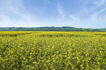 Barossa Valley Canola Fields