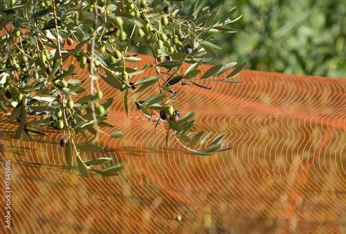 Plexiglas Olijfboom Raccolta delle olive in Liguria