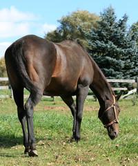 Chestnut Horse Grazing