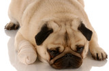 veterinary care - pug dog with bandaid on paw .. poster