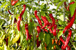 Red chile