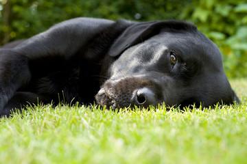 Black labrador retriever resting in short  green grass
