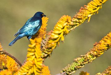 Cape Glossy Starling sitting on an aloe flower