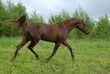 Stately red arabian horse trot