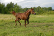 Red arabian horse in gallop