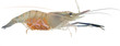 Shrimp pregnant - 17660244