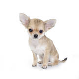 pale beige chihuahua puppy on white poster