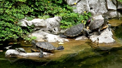 Four Turtle on rock