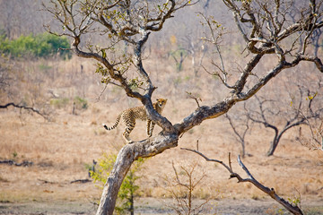 Cheetah climbing up a tree in South Africa