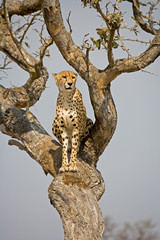 Cheetah sitting in tree in South Africa