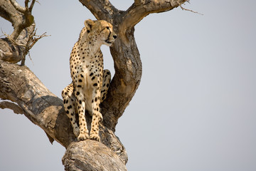 Cheetah sitting in tree in South Africa looking for prey