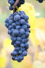 vineyard Jecmeniste, Eko Hnizdo, Czech Republic