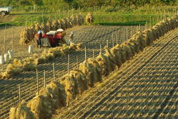 収穫の作業