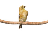 immature american golfinch calls out while perched on a branch