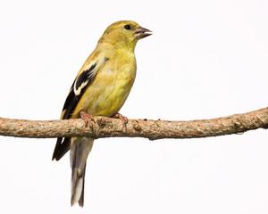 female american goldfinch perch on a branch