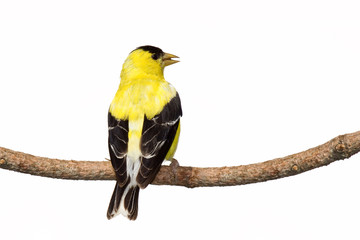 rear view of male american goldfinch