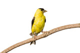american goldfinch profiles his yellow plumage poster