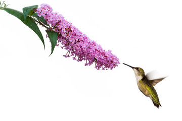 hummingbird hovers at pink buddleia flower
