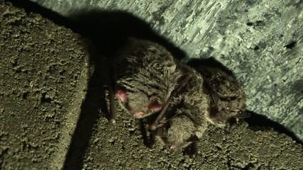 Fledermaus Winterschlaf Totale