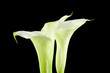 White Calla flower in closeup over black background