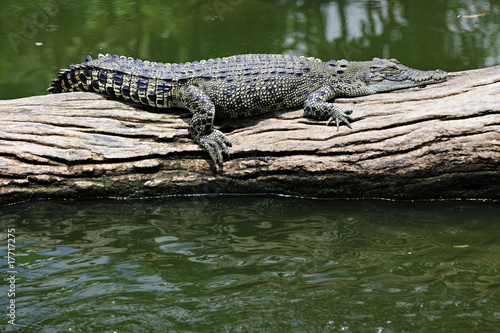 Fotobehang Krokodil Leistenkrokodil beim Faulenzen