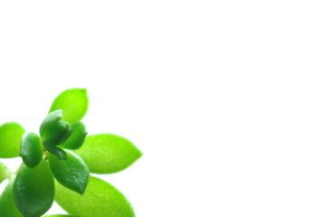 多肉性の植物
