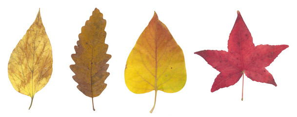 High resolution red yellow and brown autumn leaf