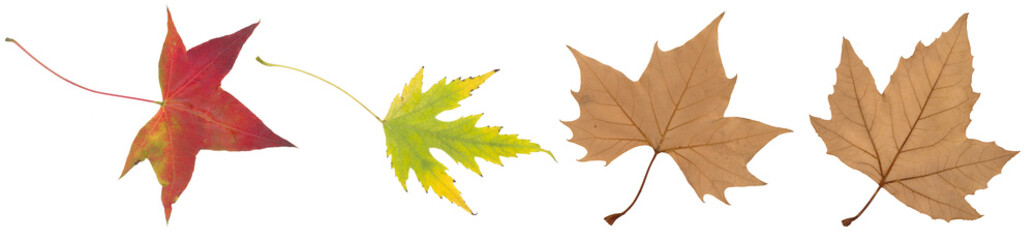 yellow, green and brown autumn leaf isolated