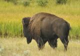 Buffalo Migrating poster