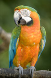 harlequin macaw close up sitting on tree , costa rica poster