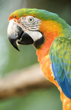 harlequin macaw close up side profile , costa rica poster