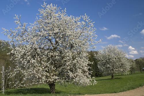 Plakát, Obraz Blühende Kirschbäume