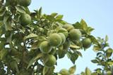 Unripe oranges poster
