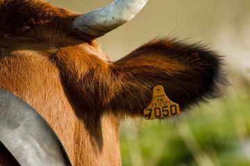 Oreille de vache