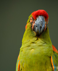 Military Macaw head closeup
