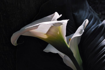 flower of white calla