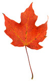 Vibrant Red Maple Leaf poster