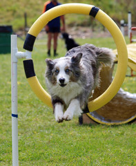 Blue Merle Border Collie through a Hoop