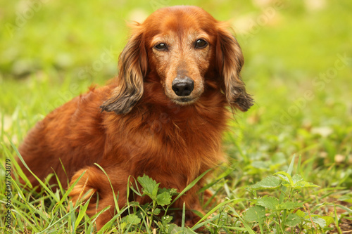 dachshund outdoor closeup