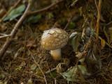 The Blusher, Amanita rubescens fungus poster