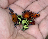 hand full of colorful poison dart frogs, costa rica poster