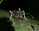 the dreaded costa rican poisonous bullet ant poster