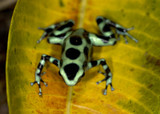 green and black or dendrobates auratus poison dart frog poster