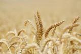 goldenes korn